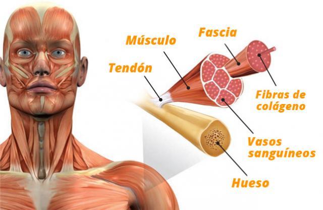 Para que sirve el colageno en el cuerpo humano