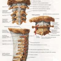 Vertebras cervicales y osteopatía